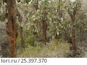 Купить «Giant prickly pear cacti (Opuntia sp.), Santa Cruz Island, Galapagos Islands.», фото № 25397370, снято 28 января 2020 г. (c) Nature Picture Library / Фотобанк Лори