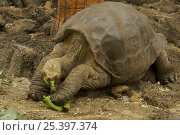 "Купить «Galapagos giant tortoise (Geochelone nigra abingdoni) from Pinta island named ""Lonesome George"" (captive). He is the only remaining member of his race...», фото № 25397374, снято 24 января 2020 г. (c) Nature Picture Library / Фотобанк Лори"