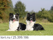 Australian Shepherds, blue-merle and black-and-white, lying down in garden. Стоковое фото, фотограф Petra Wegner / Nature Picture Library / Фотобанк Лори
