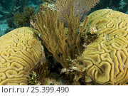 Купить «Soft coral with Brain corals. Andros Barrier Reef, Bahamas.», фото № 25399490, снято 18 августа 2018 г. (c) Nature Picture Library / Фотобанк Лори