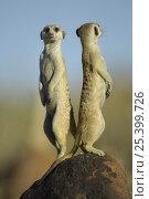 Купить «Meerkat (Suricata suricatta) standing on guard, back to back, South Africa», фото № 25399726, снято 5 августа 2020 г. (c) Nature Picture Library / Фотобанк Лори
