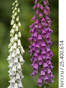 Купить «Common foxglove (Digitalis purpurea), white and purple cultivars, Europe», фото № 25400614, снято 22 июля 2018 г. (c) Nature Picture Library / Фотобанк Лори