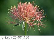 Купить «Bloody Lily (Scadoxus haemanthus) flower, South Africa», фото № 25401130, снято 20 октября 2019 г. (c) Nature Picture Library / Фотобанк Лори