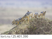 Купить «Black-backed Jackal {Canis mesomelas} playful 12- week pups on top of termite mound, Masai Mara Triangle, Kenya», фото № 25401390, снято 7 июля 2020 г. (c) Nature Picture Library / Фотобанк Лори