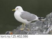 Купить «Common / Mew Gull (Larus canus) perched on rock, Alaska, USA, June», фото № 25402086, снято 24 февраля 2018 г. (c) Nature Picture Library / Фотобанк Лори