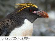 Macaroni penguin,{ Eudyptus chrysolophus} head portrait, Antarctica. Стоковое фото, фотограф Edwin Giesbers / Nature Picture Library / Фотобанк Лори