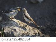 Купить «Northern Wheatear (Oenanthe oenanthe) female feeding its chick, Bulgaria May 2008», фото № 25402354, снято 3 апреля 2020 г. (c) Nature Picture Library / Фотобанк Лори