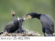 Купить «Common cormorant (Phalacrocorax carbo) pair at nest feeding chicks, France», фото № 25402994, снято 25 мая 2019 г. (c) Nature Picture Library / Фотобанк Лори