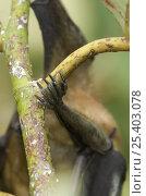 Купить «Close-up of a straw-coloured fruit bat's (Eidolon helvum) leg showing  the claws used for hanging onto tree, Kasanka National Park, Zambia, Africa», фото № 25403078, снято 21 сентября 2018 г. (c) Nature Picture Library / Фотобанк Лори