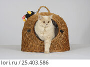 Купить «British Longhair Tomcat (cream with copper eyes) coming out of wicker travel basket», фото № 25403586, снято 17 августа 2018 г. (c) Nature Picture Library / Фотобанк Лори