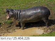 Pygmy Hippopotamus (Choeropsis liberiensis) vocalising by mud pool. Occurs West Africa, Vulnerable Species, April 2OO8, Captive. Стоковое фото, фотограф Rod Williams / Nature Picture Library / Фотобанк Лори