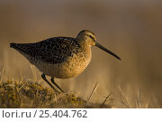 Купить «Short-billed dowitcher (Limnodromus griseus) on tundra near Point Barrow, National Petroleum Reserves, Arctic Alaska», фото № 25404762, снято 12 июля 2020 г. (c) Nature Picture Library / Фотобанк Лори