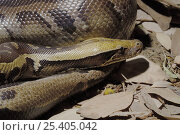 Купить «Blood Python (Python curtus) Captive, native to SE Asia.», фото № 25405042, снято 21 сентября 2019 г. (c) Nature Picture Library / Фотобанк Лори