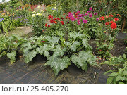Купить «Courgettes growing in containers amongst Dahlias and other mixed summer flowers in a summer garden, Norfolk, UK, july», фото № 25405270, снято 18 июля 2018 г. (c) Nature Picture Library / Фотобанк Лори