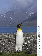 Купить «King Penguin (Aptenodytes patagonicus) standing out above colony, Saint Andrews Bay, South Georgia», фото № 25405454, снято 24 сентября 2018 г. (c) Nature Picture Library / Фотобанк Лори