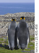 King Penguin (Aptenodytes patagonicus) male and female rear view looking out over colony, Saint Andrews Bay, South Georgia. Стоковое фото, фотограф Suzi Eszterhas / Nature Picture Library / Фотобанк Лори