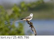 Купить «Scissor-tailed Flycatcher (Tyrannus forficatus) male, Texas, USA», фото № 25405786, снято 17 августа 2018 г. (c) Nature Picture Library / Фотобанк Лори