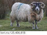 Купить «Ram {Ovis aries} portrait, Isle of Rum, Inner Hebrides, Scotland, UK», фото № 25406818, снято 15 августа 2018 г. (c) Nature Picture Library / Фотобанк Лори