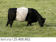 Купить «Belted Galloway (Bos taurus) Beef breed of cattle, grazing, Hertfordshire, England, UK», фото № 25408862, снято 29 марта 2020 г. (c) Nature Picture Library / Фотобанк Лори
