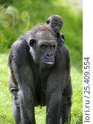 Купить «Western lowland gorilla (Gorilla gorilla gorilla) mother carrying baby on her back. Captive, France», фото № 25409554, снято 24 июля 2019 г. (c) Nature Picture Library / Фотобанк Лори