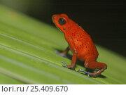 Купить «Strawberry poison arrow / dart frog {Dendrobates pumilio} on leaf, Costa Rica», фото № 25409670, снято 20 мая 2019 г. (c) Nature Picture Library / Фотобанк Лори
