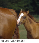Купить «Chestnut colt foal (11-weeks) with white blaze, beginning to lose its baby coat, nuzzling mare, UK», фото № 25410254, снято 16 августа 2018 г. (c) Nature Picture Library / Фотобанк Лори