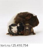 Купить «Brownhead sow guinea pig with three newborn babies, UK», фото № 25410754, снято 24 июня 2018 г. (c) Nature Picture Library / Фотобанк Лори