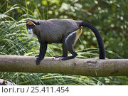 Купить «Female De Brazza's Monkey (Cercopithecus neglectus) standing on branch, Captive, occurs from Cameroon to Ethiopia and Kenya to Angola», фото № 25411454, снято 20 января 2020 г. (c) Nature Picture Library / Фотобанк Лори