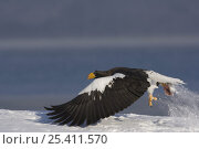 Купить «Steller's sea eagle {Haliaeetus pelagicus} taking off from snow carrying Sockeye salmon prey in claws, Kuril Lake, Kamchatka, Far East Russia», фото № 25411570, снято 21 сентября 2018 г. (c) Nature Picture Library / Фотобанк Лори