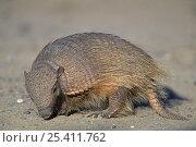 Купить «Hairy armadillo {Chaetophractus villosus} Valdes Peninsula, Patagonia, Argentina, February», фото № 25411762, снято 19 июня 2018 г. (c) Nature Picture Library / Фотобанк Лори