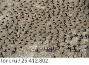 Купить «Socotra cormorant (Phalacrocorax nigrogularis) colony on a beach at Hawar Island, Bahrain», фото № 25412802, снято 6 апреля 2020 г. (c) Nature Picture Library / Фотобанк Лори