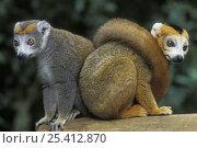 Купить «Two Crowned lemurs (Eulemur coronatus) tropical rainforest, Montagne d'Ambre NP, Madagascar», фото № 25412870, снято 22 апреля 2019 г. (c) Nature Picture Library / Фотобанк Лори