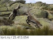 Купить «Spanish ibex (Capra pyrenaica) males fighting, Sierra de Gredos, Spain», фото № 25413054, снято 20 августа 2018 г. (c) Nature Picture Library / Фотобанк Лори