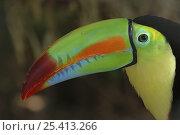 Купить «Keel billed Toucan {Ramphastos sulfuratus}, Costa Rica», фото № 25413266, снято 22 мая 2019 г. (c) Nature Picture Library / Фотобанк Лори