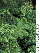 Купить «Tree fern and tropical vegetation, Monteverde Nature Reserve, Costa Rica», фото № 25413370, снято 16 августа 2018 г. (c) Nature Picture Library / Фотобанк Лори