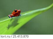 Купить «Strawberry poison dart / arrow frog (Dendrobates pumilio) on leaf, Costa Rica», фото № 25413870, снято 20 мая 2019 г. (c) Nature Picture Library / Фотобанк Лори