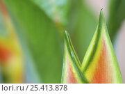 Купить «Close-up of Heliconia flower, Costa Rica», фото № 25413878, снято 20 октября 2019 г. (c) Nature Picture Library / Фотобанк Лори