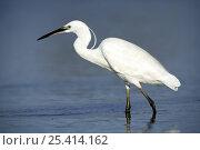 Купить «Little egret {Egretta garzetta} in lake, Donana NP, Sevilla, Spain», фото № 25414162, снято 5 июля 2020 г. (c) Nature Picture Library / Фотобанк Лори
