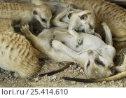Meerkat (Suricata suricatta) mother lying on back suckling young, South Africa. Стоковое фото, фотограф Solvin Zankl / Nature Picture Library / Фотобанк Лори