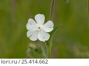 Купить «White campion {Silene alba} Barnack Hills and Holes, Cambridgeshire, UK», фото № 25414662, снято 19 февраля 2019 г. (c) Nature Picture Library / Фотобанк Лори