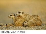 Meerkat (Suricata suricatta) juvenile peering out from under group of adults, South Africa. Стоковое фото, фотограф Solvin Zankl / Nature Picture Library / Фотобанк Лори