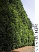 Купить «Very tall Leyland Cypress (Cupressus × leylandii) hedge, UK», фото № 25414970, снято 19 августа 2018 г. (c) Nature Picture Library / Фотобанк Лори