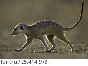 Купить «Meerkat (Suricata suricatta) walking, South Africa», фото № 25414978, снято 5 августа 2020 г. (c) Nature Picture Library / Фотобанк Лори