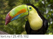 Купить «Keel-billed Toucan (Ramphastos sulfuratus) portrait, Captive, found Mexico to Venezuela», фото № 25415102, снято 24 октября 2019 г. (c) Nature Picture Library / Фотобанк Лори