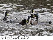 Купить «Five Mallard drakes (Anas platyrhynchos) in mating frenzy with female, Wirral, UK, April», фото № 25415270, снято 25 сентября 2018 г. (c) Nature Picture Library / Фотобанк Лори