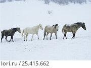 Купить «Four Horses walking through snow, Colorado, USA», фото № 25415662, снято 16 августа 2018 г. (c) Nature Picture Library / Фотобанк Лори