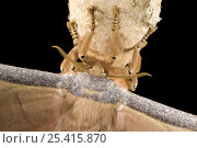 Купить «Close up of antennae of Japanese Oak Silkmoth (Antherea yamamai), Captive», фото № 25415870, снято 22 июля 2018 г. (c) Nature Picture Library / Фотобанк Лори