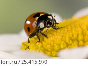 Купить «Seven spot ladybird (Coccinella septempunctata) on flower head, Germany», фото № 25415970, снято 16 июля 2018 г. (c) Nature Picture Library / Фотобанк Лори