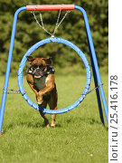Купить «German Boxer wearing a harness, jumping through a hoop», фото № 25416178, снято 20 июля 2018 г. (c) Nature Picture Library / Фотобанк Лори