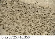 Купить «Socotra cormorant (Phalacrocorax nigrogularis) colony on a beach at Hawar Island, Bahrain», фото № 25416350, снято 6 апреля 2020 г. (c) Nature Picture Library / Фотобанк Лори